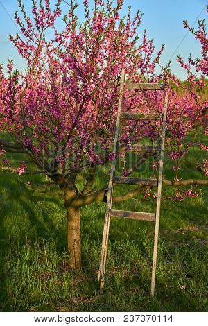 Blooming Pink Peach Blossoms On Trees And Wooden Stepladder With Peach Trees Garden On Background In
