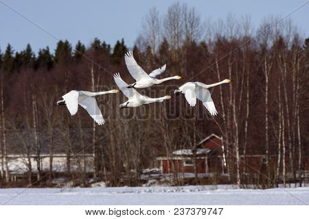 A Group Of Whooper Swan In Migration. Leaving A Rest Place. Heading North. Buildings In The Backgrou