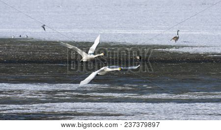 A Couple Of Whooper Swan In Migration. Leaving A Rest Place. Heading North.