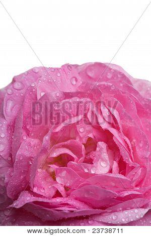 Closeup Pink Rose