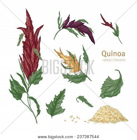 Bundle Of Various Quinoa Flowering Plants And Seeds Hand Drawn On White Background. Collection Of Go
