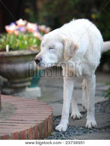 blind retired guide dog