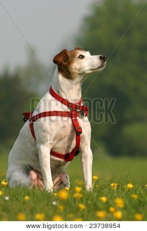 Jack russel dog sitting in field