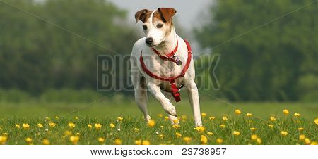 Jack russell running in a field