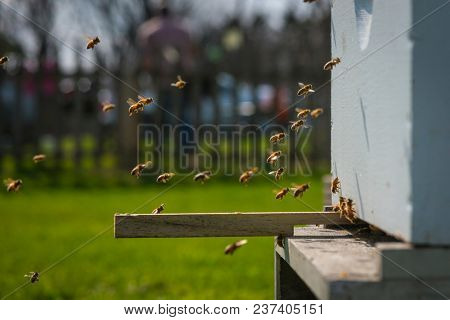 Honey Bees Working and Flying at Bee Hive
