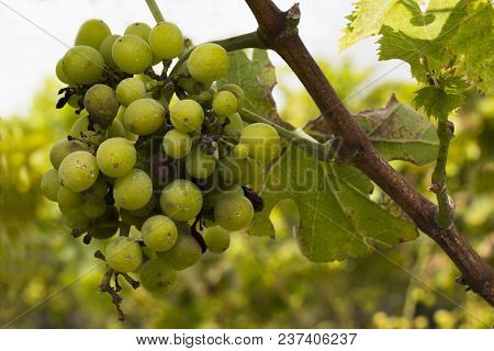 Green Rapes Growing In Bunches On Vines.