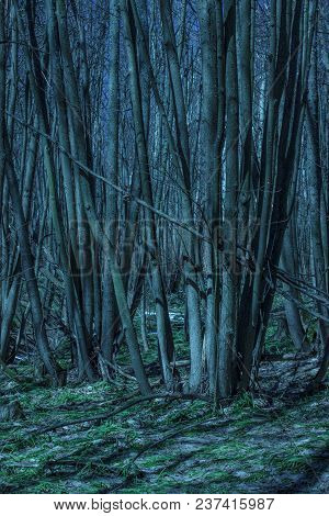 Mysterious Trees Under Which Grow Snowdrops In The Night Forest Exciting And Magical No One Around