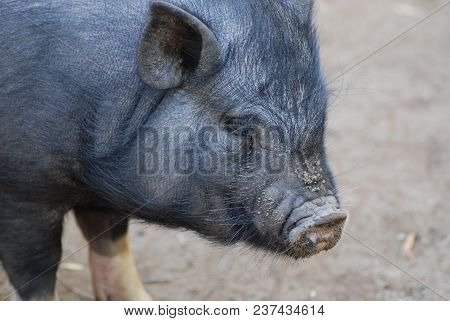 Large Muddy Boar With Long Whiskers Around His Snout.