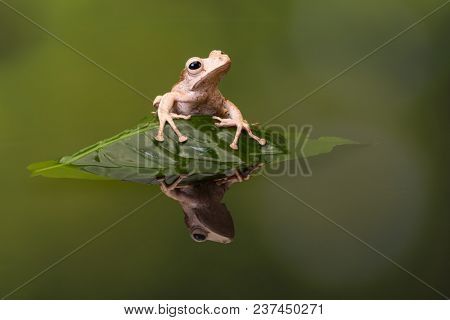 Borneo Eared Tree Frog sitting on a leaf in rippled water