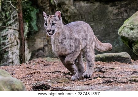 Cougar (puma Concolor), Also Commonly Known As The Mountain Lion, Puma, Panther, Or Catamount. Is Th