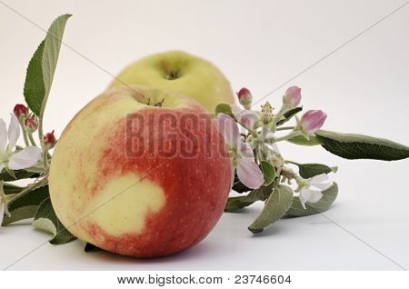 apples and apples blossoms