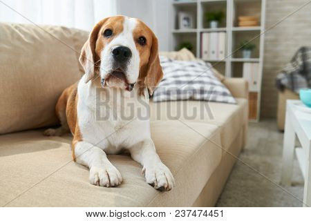 Calm Clever Old Beagle Dog Lying On Comfortable Sofa And Looking At Camera In Living Room