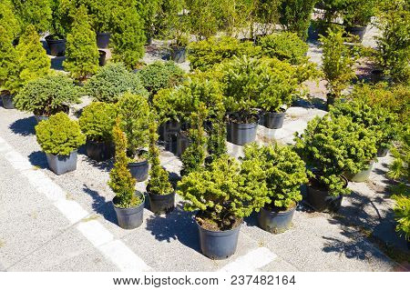Market With Plants, Garden Store: Thujas And Other Conifers In Pots Put Up For Sale Outside The Stor