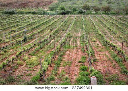 Portuguese Wine Fields In The Algarve. Portugal