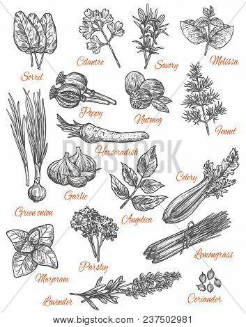 Herbs And Spices Sketch Icons. Vector Isolated Set Of Sorrel, Cilantro Or Savory And Melissa Flavori
