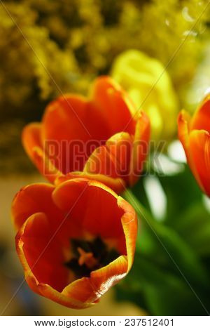 Red Tulips Close-up. Yellow Tulips And Mimosa Are Not In Focus In The Background. Floral Background.