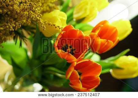 Bouquet Of Red And Yellow Tulips, And Mimosa Close-up. Floral Background. Spring Mood.