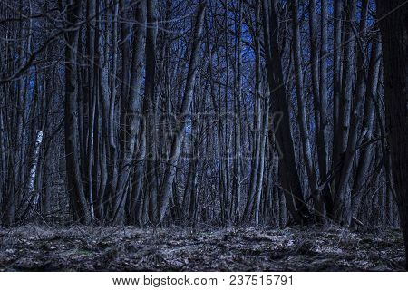 Tall Trees Under The Dark Blue Sky In The Nocturnal Forest No One Around The Wonders Of The Wild