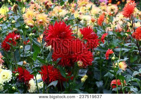 In A Flower Bed A Considerable Quantity Of Flowers Dahlias With Petals In Various Colors.