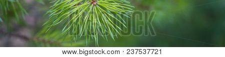 Banner Of Fir Tree Branch Close Up. Shallow Focus. Fluffy Fir Tree Brunch Close Up. Christmas Wallpa