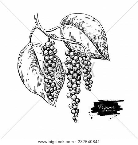 Black Pepper Plant Branch Vector Drawing. Botanical Illustration. Vintage Hand Drawn Spice Sketch. H