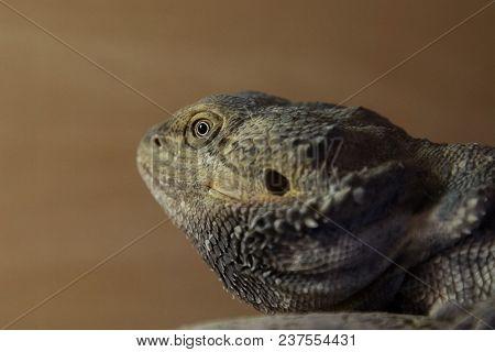 Closeup Photo Portrait Of A Beautiful Bearded Dragon