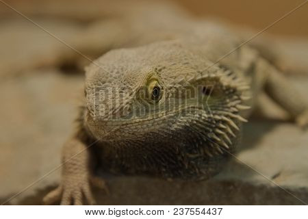 Closeup Photo Portrait Of A Resting Bearded Dragon