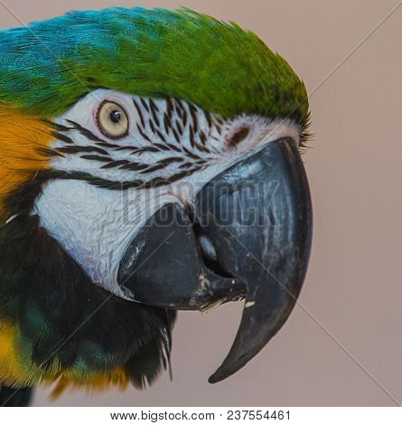 Close-up Photo Portrait Of A Blue And Yellow Macaw Parrot