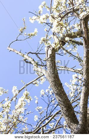 Blooming Tree. Branch Of A Blooming Tree
