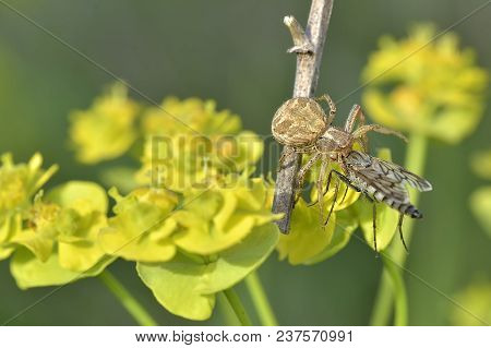 A Species Of Xysticus, Crab Spider, Photographed In Nature When Eating A Fly