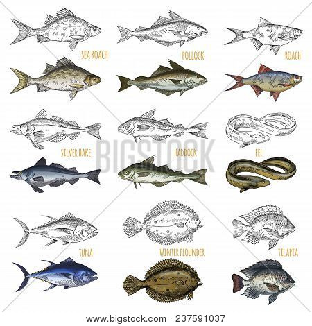 Sketches Of Ocean Fish Species. Isolated Sea Roach And Pollock, Silver Hake And Haddock, Tuna And Wi