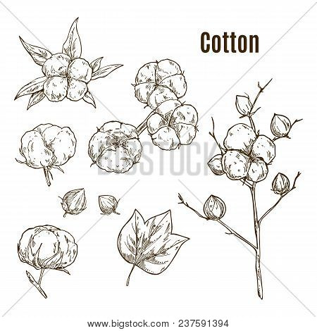 Set Of Hand Drawn Sketches Of Cotton Bud Or Flower, Leaf. Plant Twig Or Stem With Floral Boll In Blo