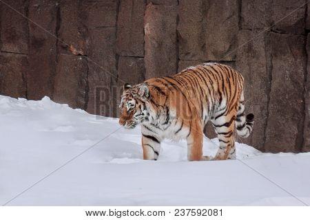 Wild Siberian Tiger Is Walking On White Snow. Animals In Wildife. Winter Morning.