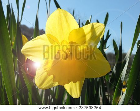 A Single Vivid Bright Yellow Daffodil Blooming In Spring Against A Bright Blue Sky With Spring Sunli