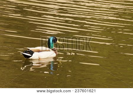 A Black Duck Swims Only In A Lake. It Is During The Day. He Swims In The Lake In The Pond Of The Mut
