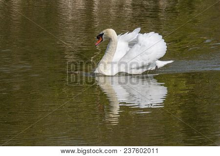 Photo Of A Male Mute Swan With Reflections In The Water