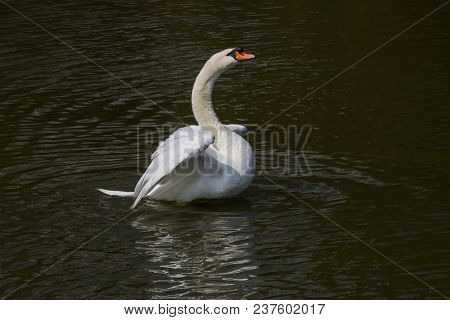 Photo Of A Male Mute Swan Getting In A Flap