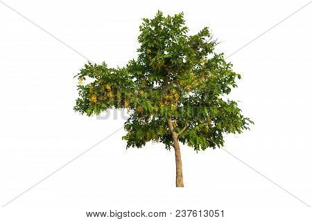 Tree With Yellow Flowers On A Pure White Background
