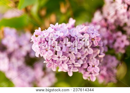 Lilac Flowers On A Tree In Spring .