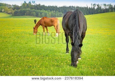 Horses Eat Spring Grass In A Field, Czech Republic