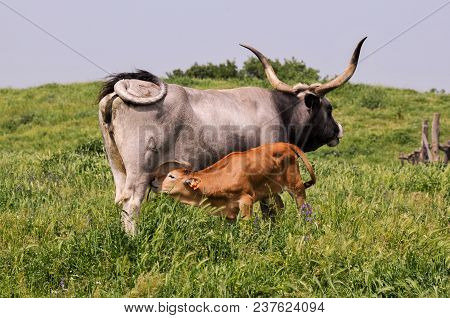 Calf Who Sucks The Cow, The Feeding
