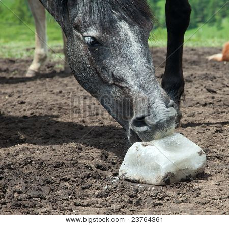 Horse licking rock salt on the mountain pasture poster