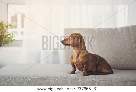 Noble Long-bodied Dachshund Is Sitting On Comfortable Sofa At Home. It Is Looking Aside With Concent