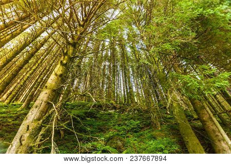 Bottom Shot Of High Pine Trees In Wild Conifer Forest. Woods Nature Concept.