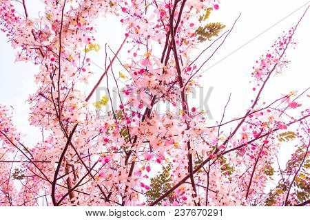 Pink Flowers Is Blooming In The White Sky, Cherry Blossom.