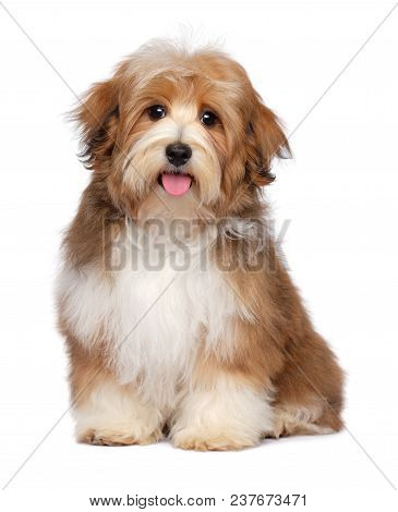 Beautiful Happy Red Parti Colored Havanese Puppy Dog Is Sitting And Looking At Camera, Isolated On W