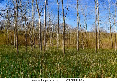 Scenic Landscape Of An Unusual Horsetail Fern Meadow With Blgtooth Aspen Trees.