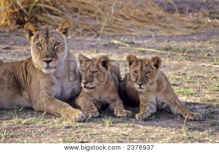 Africa-Lioness Wih Her Cubs
