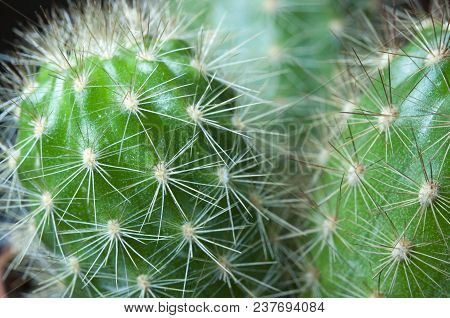 Close Up Thorns Of Cactus. Abstract Cactus Background.
