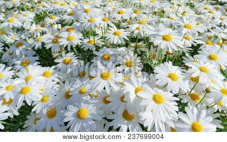 Camomile Oxeye Daisy Meadow Background,daisy Flowers On Meadow In Summer Time.